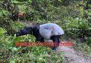 Kemunculan Tapir Dipinggir Jalan Sungaipenuh-Tapan Bikin Geger Warga